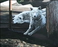Monique Robert - Pokiak's Sled Dogs in Shade