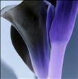 Calla Blue